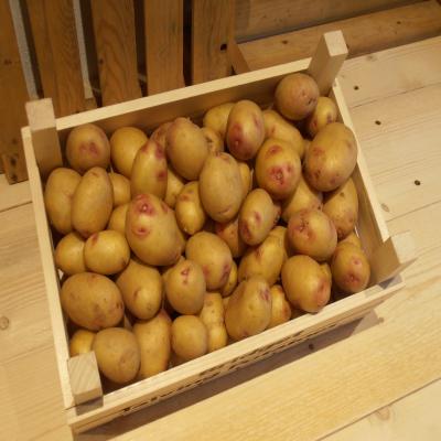 Carolus pootaardappelen volkstuin moestuin aardappelen resistent phytophthora fytoftora resistentie biologisch biologische aardappelen pootaardappelen niet spuiten